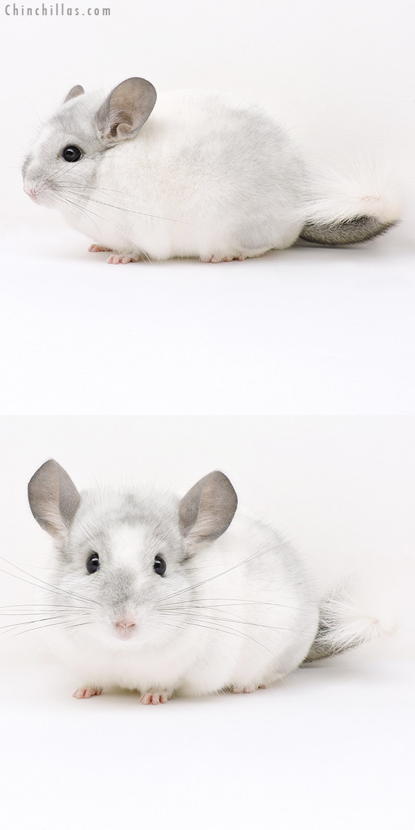16307 Show Quality White Mosaic Male Chinchilla