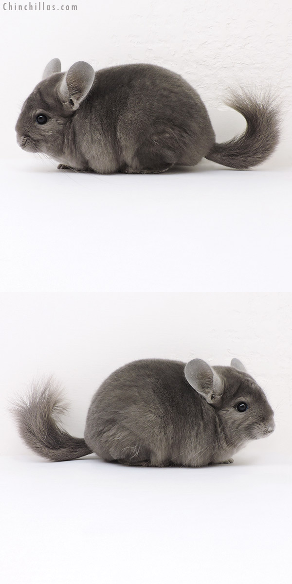16298 Premium Production Quality Wrap Around Violet Female Chinchilla
