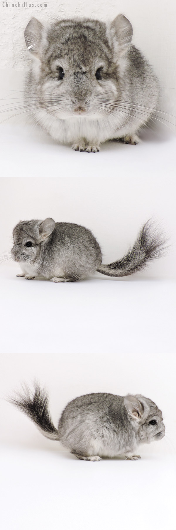 16288 Standard CCCU Royal Persian Angora Male Chinchilla