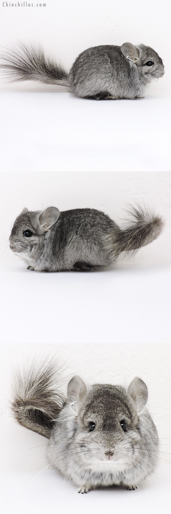 16290 Standard CCCU Royal Persian Angora Male Chinchilla