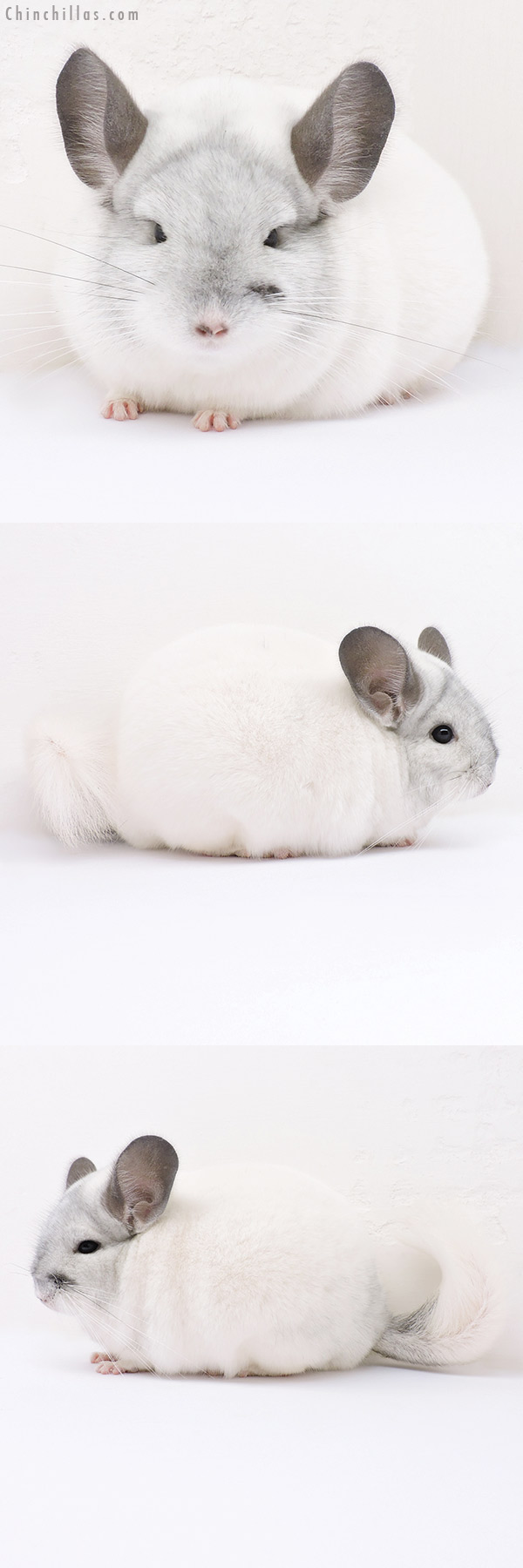 16314 Herd Improvement Quality White Mosaic Male Chinchilla