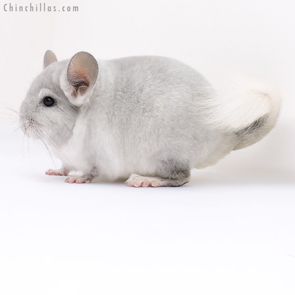 16311 Show Quality Violet & White Mosaic Female Chinchilla