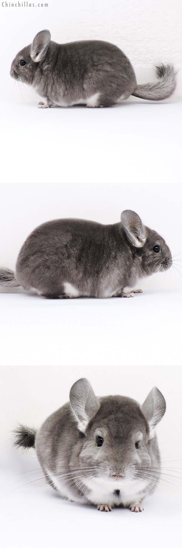 16312 Premium Production Quality Violet Female Chinchilla