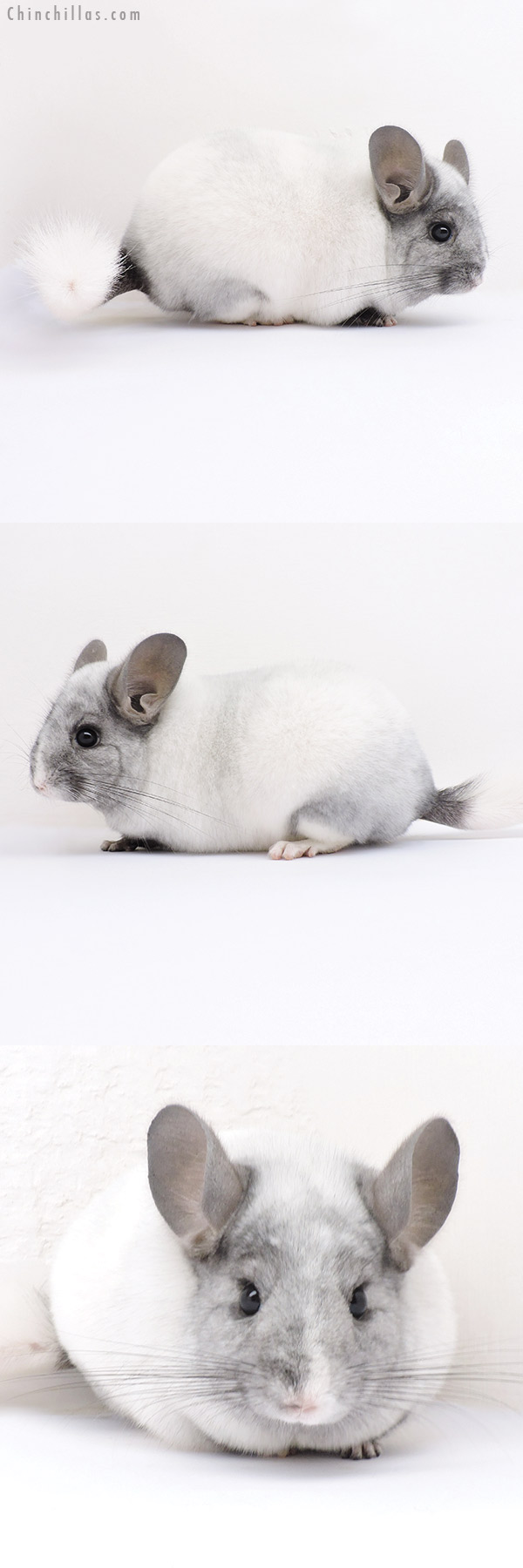 16322 Show Quality Ebony & White Mosaic Female Chinchilla