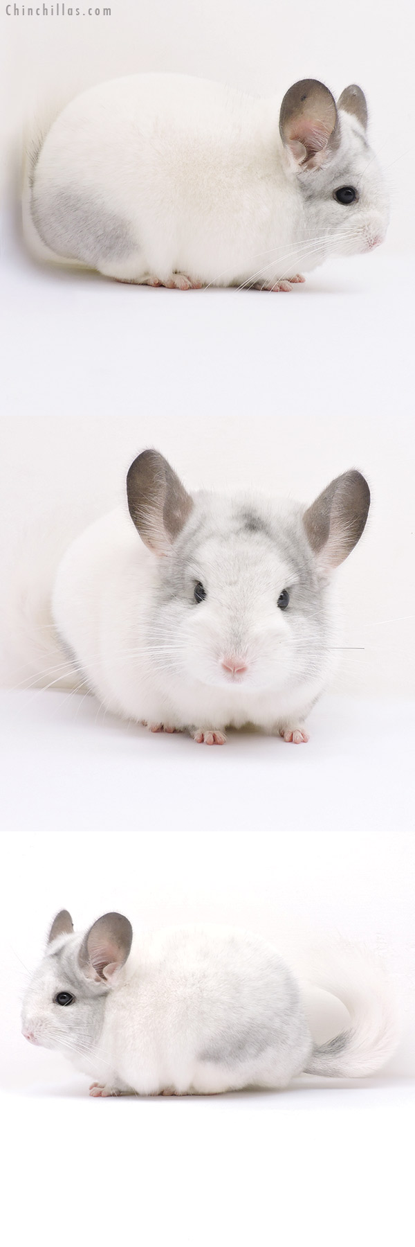 16331 Top Show Quality White Mosaic Male Chinchilla