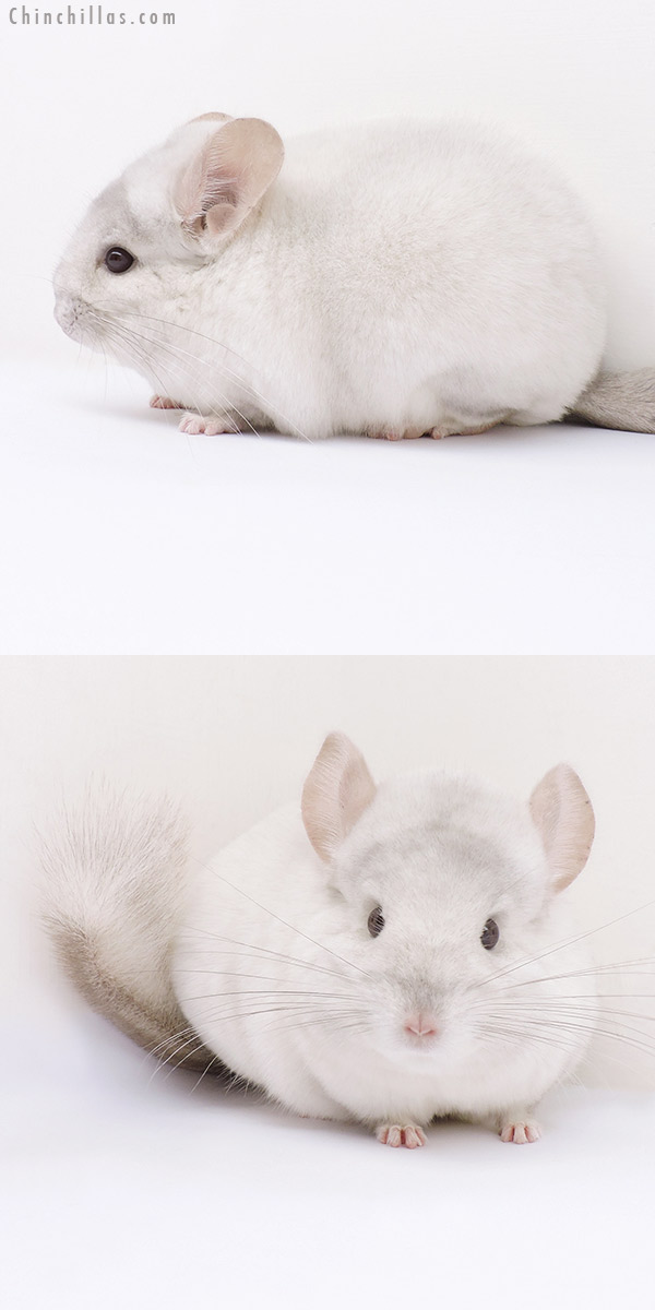 16317 Premium Production Quality Pink White Female Chinchilla
