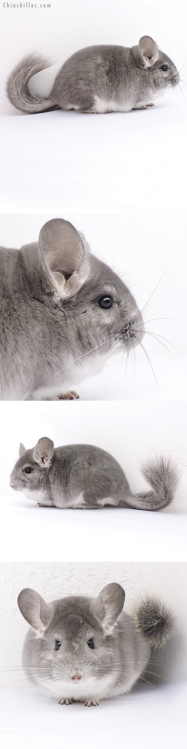 16330 Violet Fading White Male Chinchilla