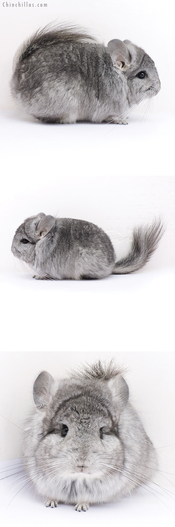 16326 Standard CCCU Royal Persian Angora Male Chinchilla