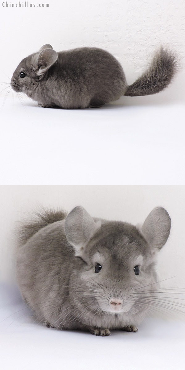 16325 Show Quality Wrap Around Violet Male Chinchilla