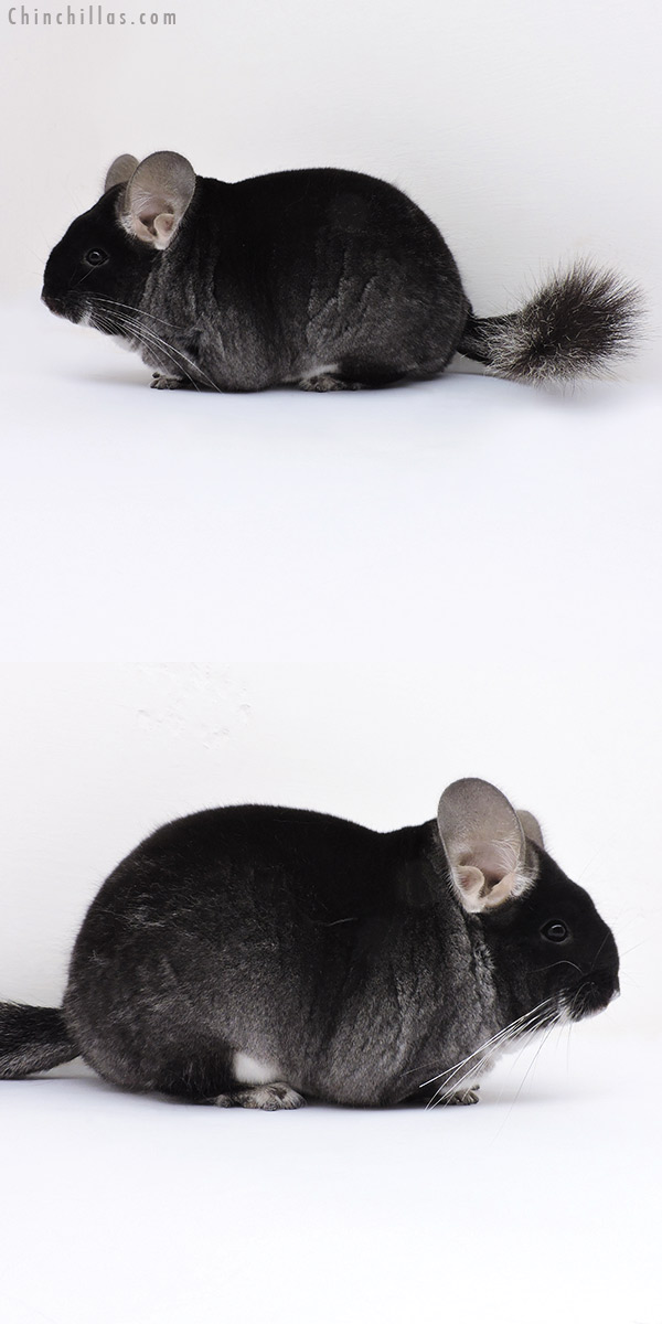 16352 Premium Production Quality Black Velvet Female Chinchilla