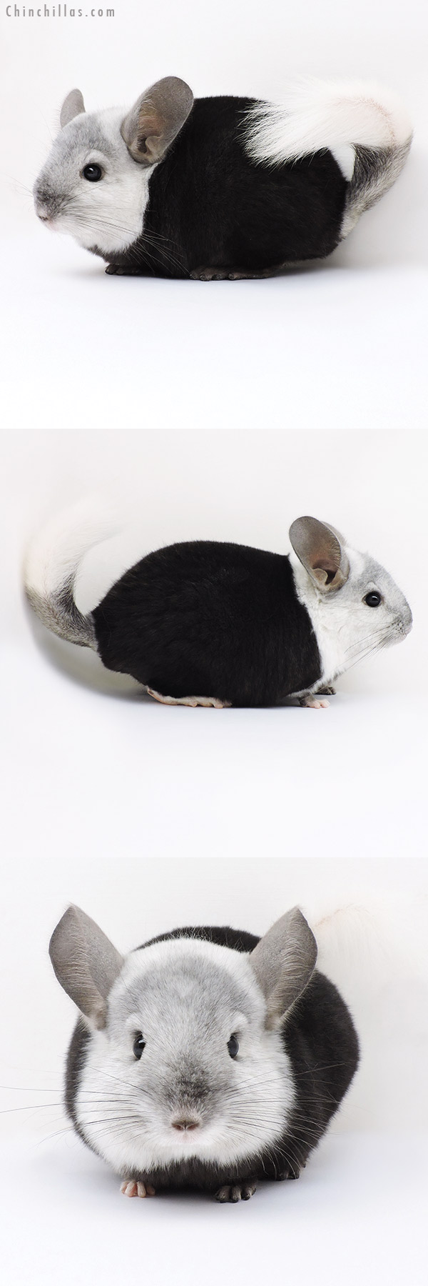 16366 Extreme Ebony & White Mosaic ( Locken Carrier ) Male Chinchilla
