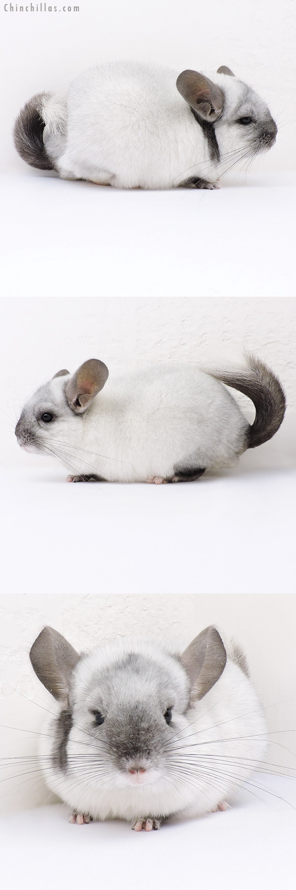 16357 Ebony & White Mosaic ( Locken Carrier ) Female Chinchilla