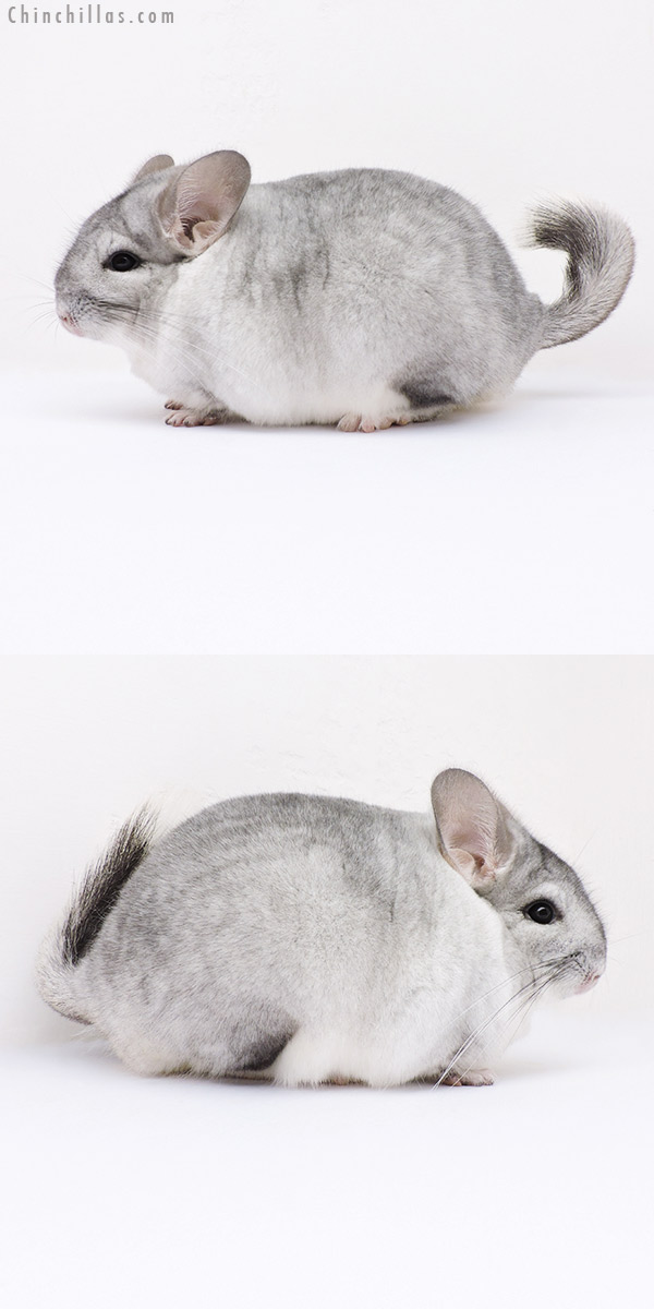 16361 Large Blocky Show Quality Silver Mosaic Female Chinchilla