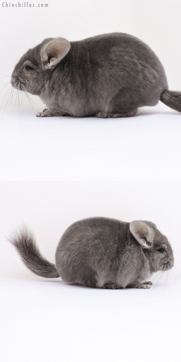 16362 Top Show Quality Wrap Around Violet Male Chinchilla
