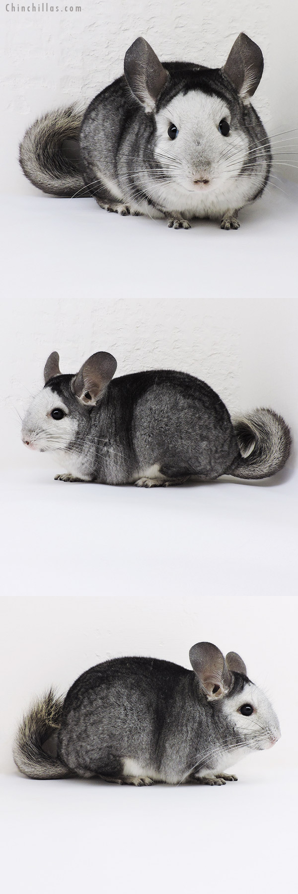 17001 Extreme 'Reverse Mosaic' Female Chinchilla