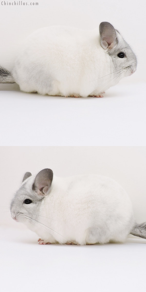 17009 Large Blocky Show Quality White Mosaic Male Chinchilla