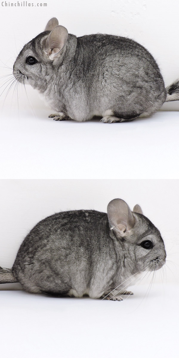 17011 Standard ( CCCU Royal Persian Angora & Violet Carrier ) Female Chinchilla