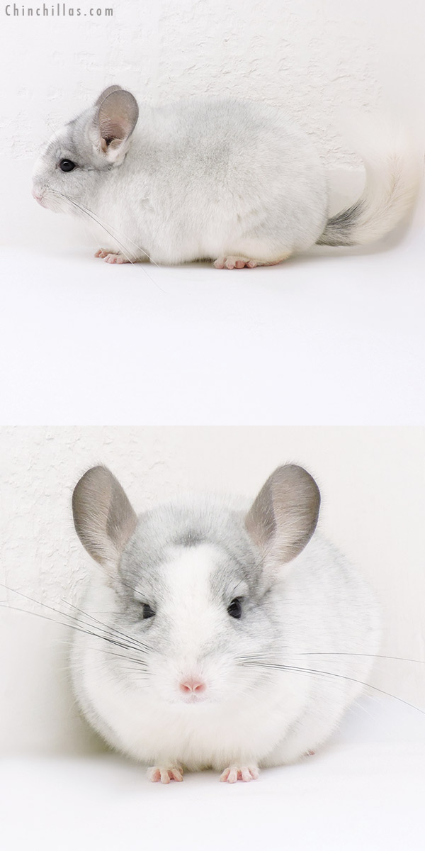 17012 Show Quality White Mosaic ( Violet Carrier ) Female Chinchilla