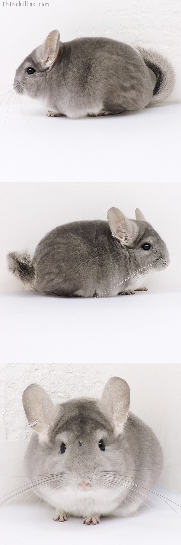 17014 Violet ( CCCU Royal Persian Angora Carrier ) Female Chinchilla