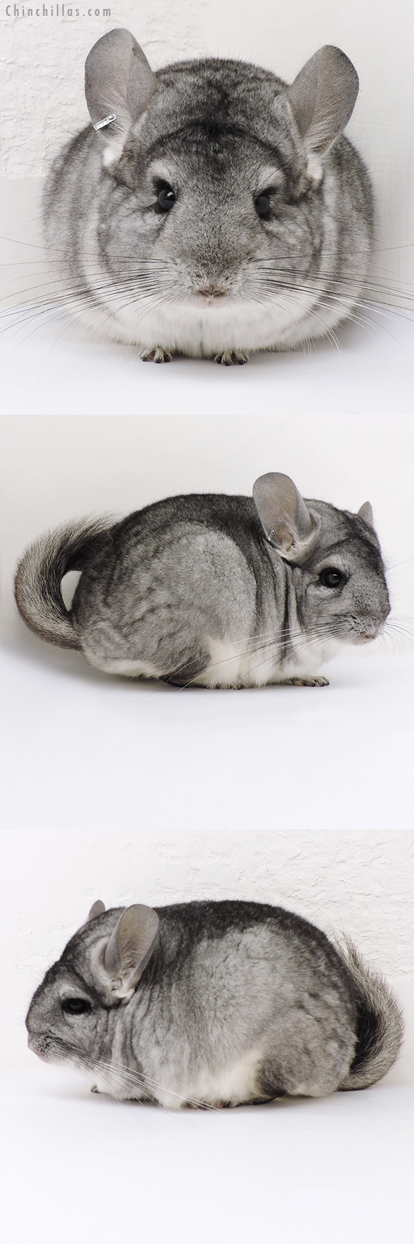 17013 Blocky Standard ( CCCU Royal Persian Angora & Violet Carrier ) Female Chinchilla