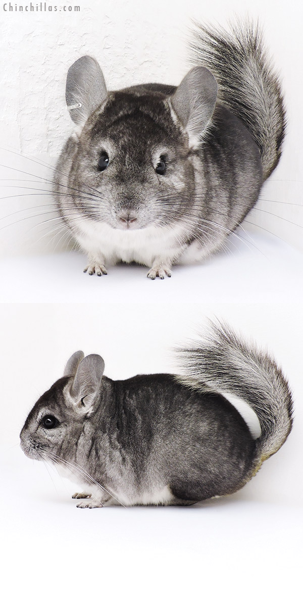 16324 Standard ( CCCU Royal Persian Angora Carrier ) Male Chinchilla