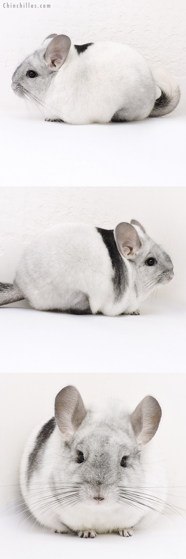 17021 Large Blocky Premium Production Quality Unique White Mosaic Female Chinchilla