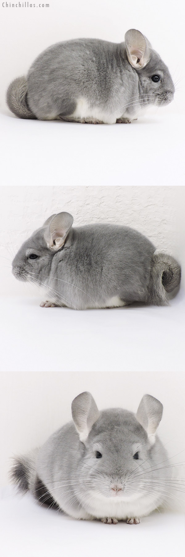 17027 Premium Production Quality Blue Diamond Female Chinchilla