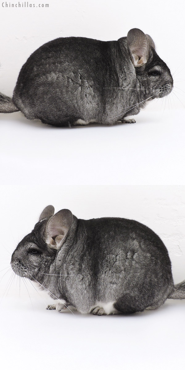 17018 Blocky Premium Production Quality Standard Female Chinchilla