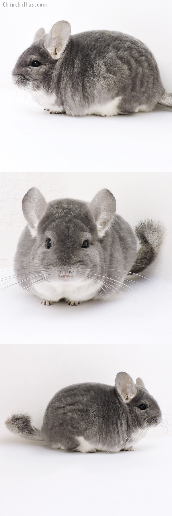 17020 Large Blocky Premium Production Quality Violet Female Chinchilla