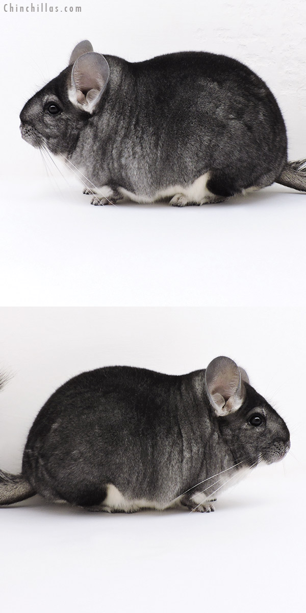 17016 Extra Large Blocky Premium Production Quality Standard Female Chinchilla