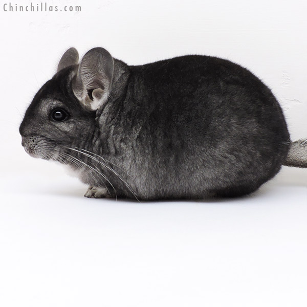 17019 Large Blocky Premium Production Quality Standard Female Chinchilla