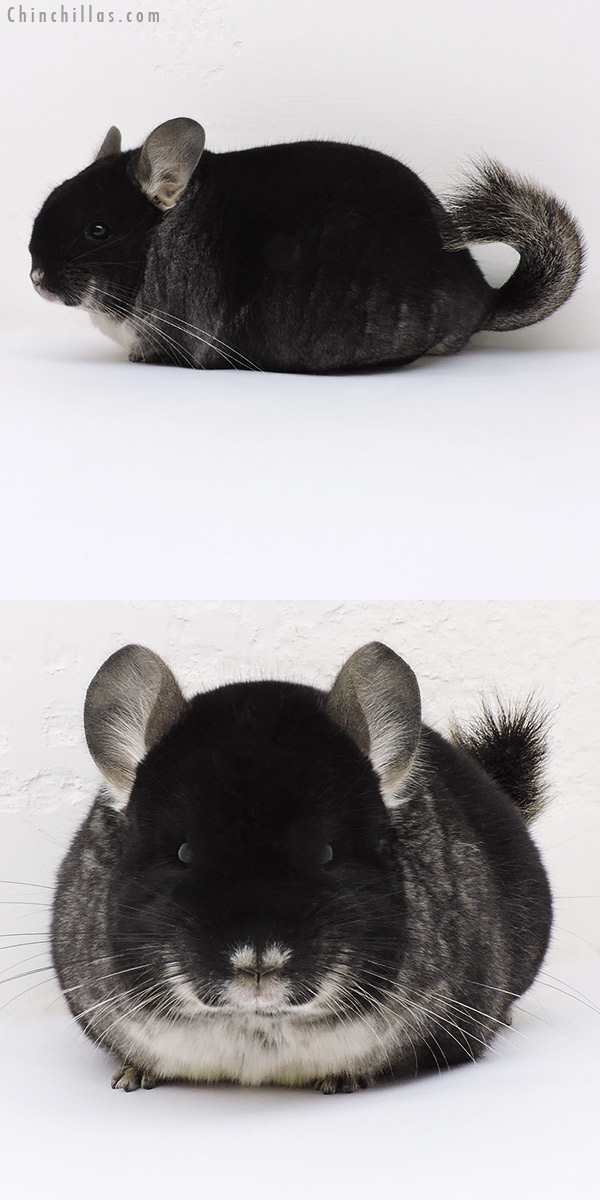 17026 Large Brevi Type Show Quality Black Velvet Female Chinchilla