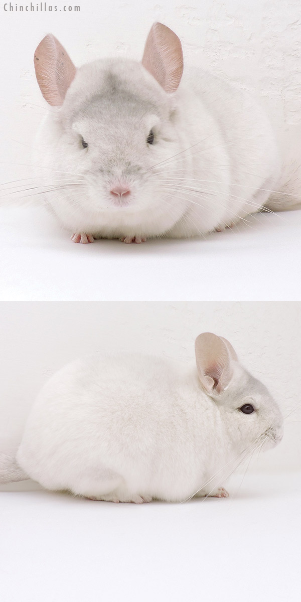 17017 Show Quality Pink White Female Chinchilla