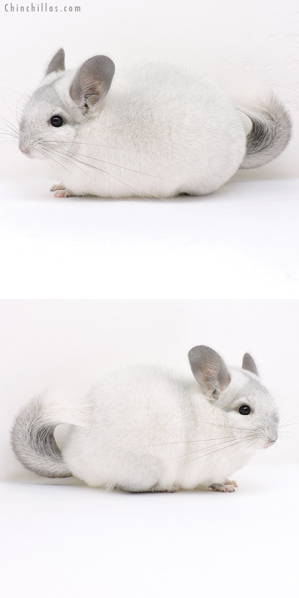 17024 Show Quality Silver Male Chinchilla