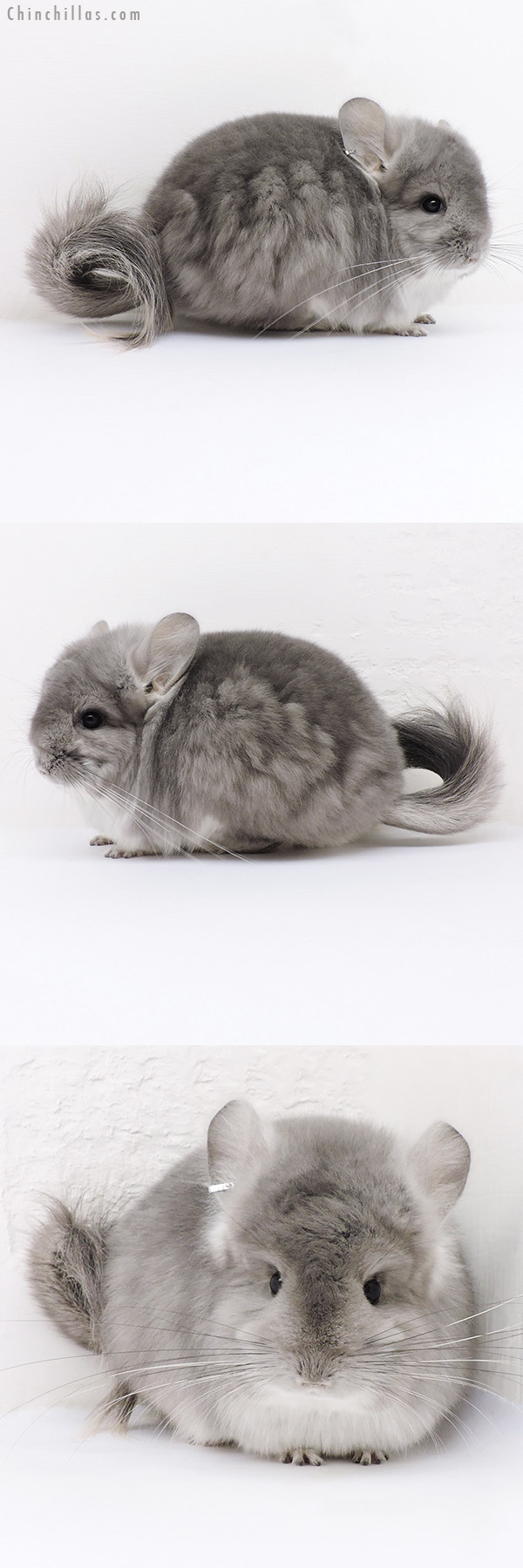 17030 Exceptional Violet CCCU Royal Persian Angora Male Chinchilla