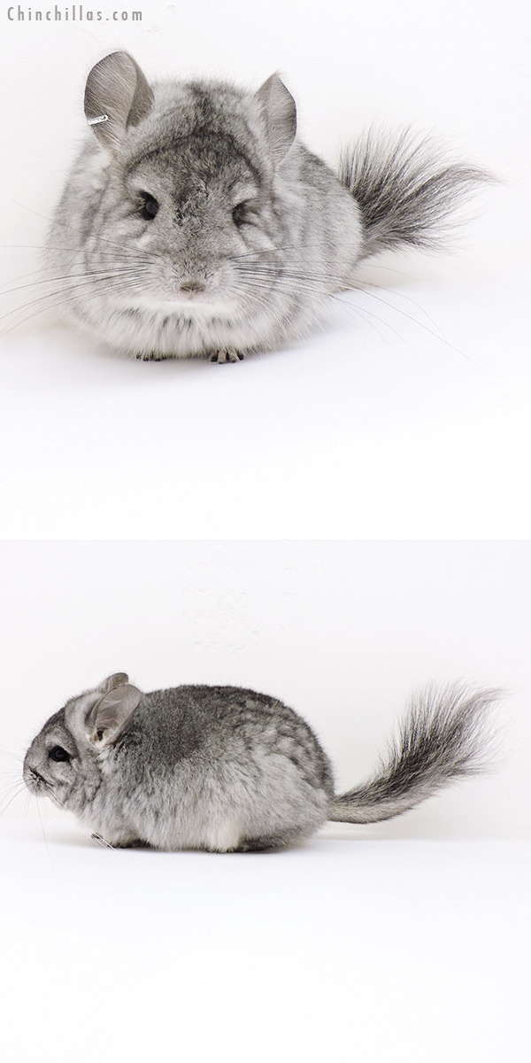 17034 Standard ( Violet Carrier ) Royal Persian Angora Female Chinchilla