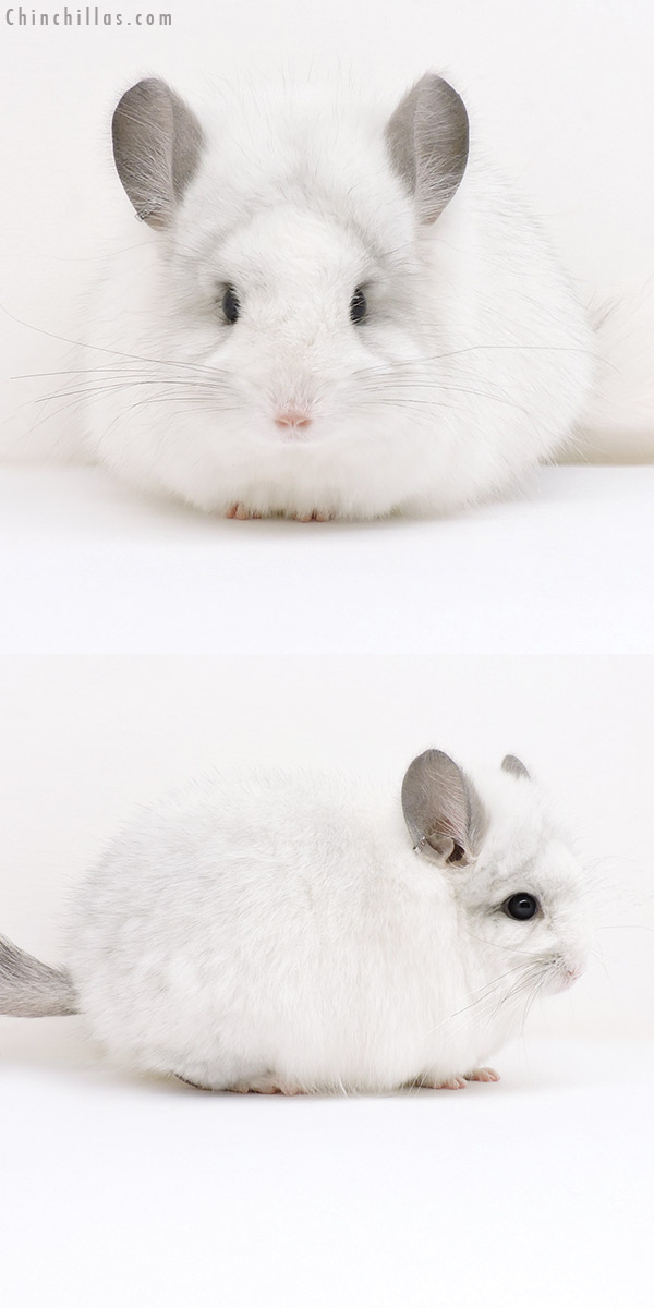 17038 Exceptional White Mosaic CCCU Royal Persian Angora Female Chinchilla