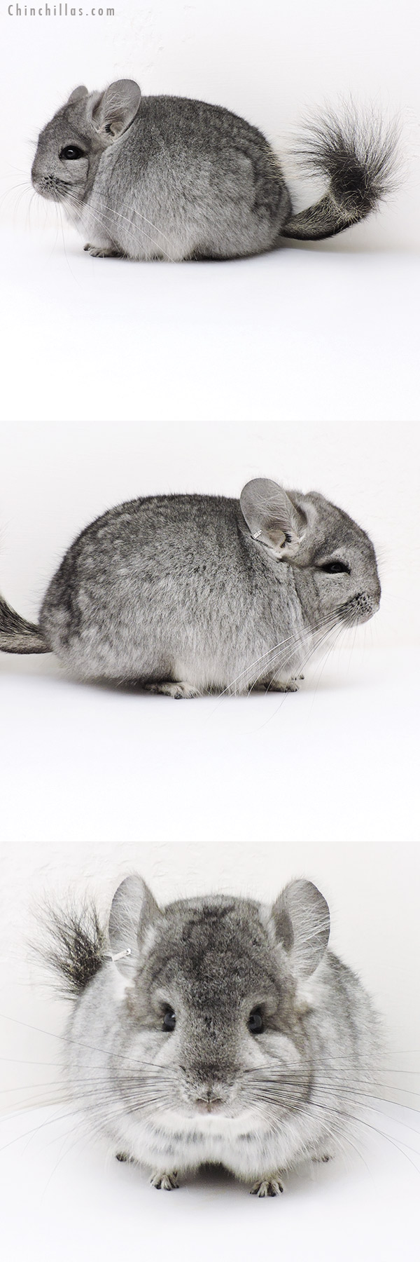 17047 Standard CCCU Royal Persian Angora Male Chinchilla