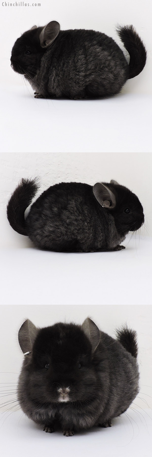 17051 Blocky Ebony CCCU Royal Imperial Angora Male Chinchilla