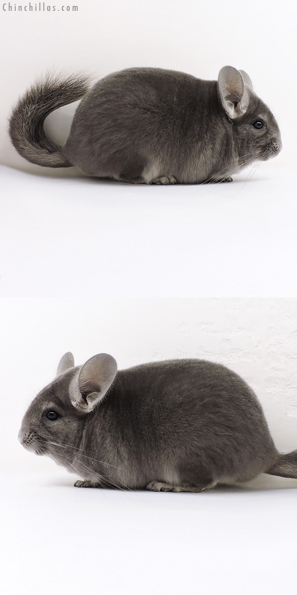 17042 Show Quality Violet ( Ebony Carrier ) Female Chinchilla