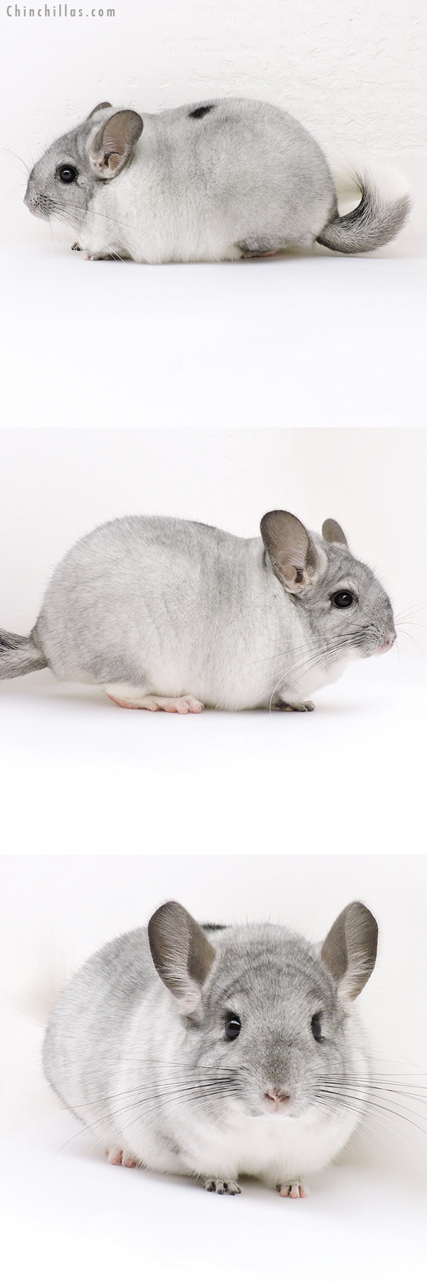 17037 Premium Production Quality Silver Mosaic Female Chinchilla