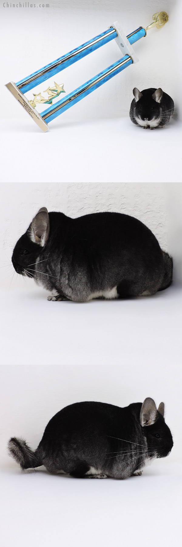 17062 Extra Extra Large Blocky Grand Show Champion Black Velvet Male Chinchilla