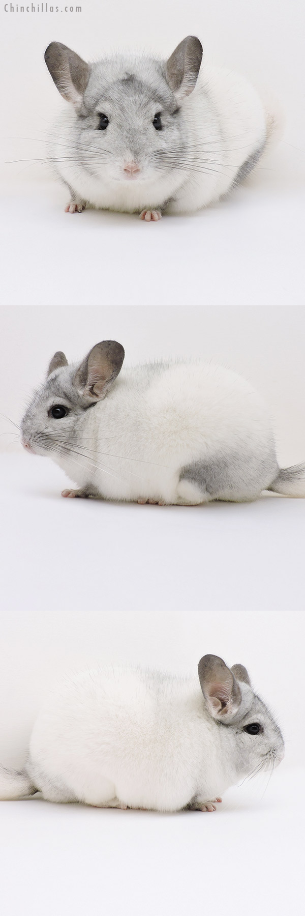 17054 Blocky Show Quality White Mosaic Male Chinchilla