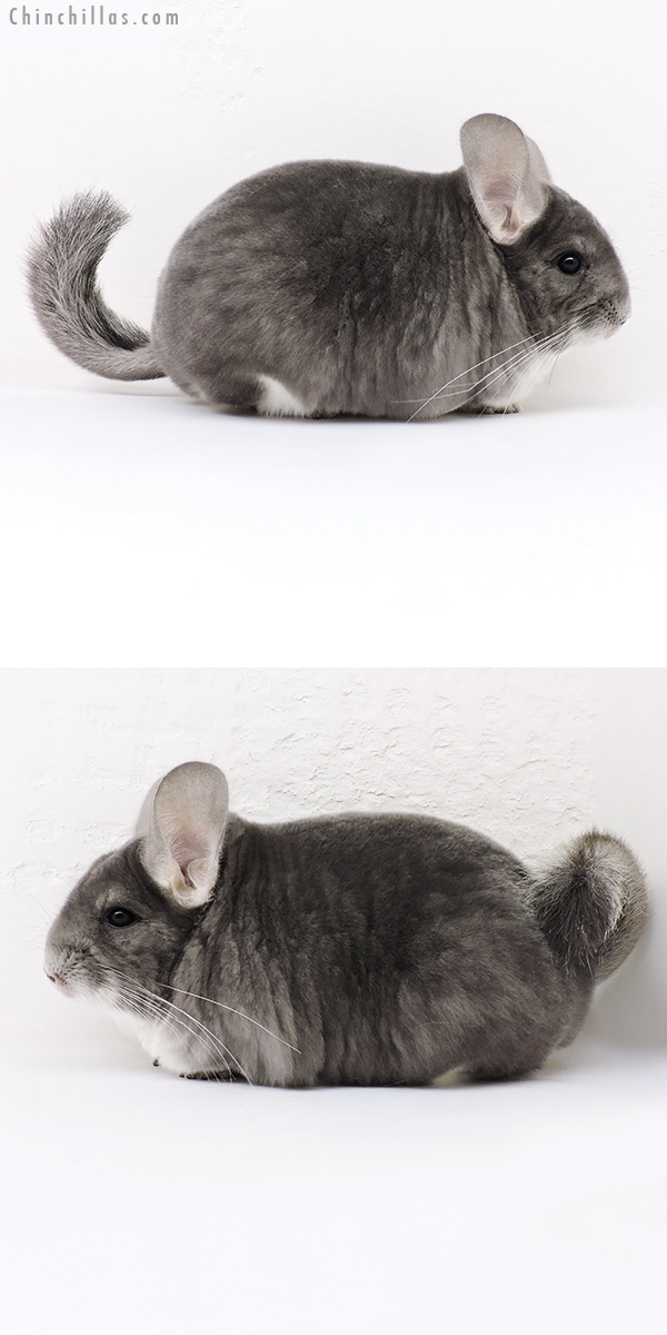 17079 US National 3rd Best in Class Violet Female Chinchilla