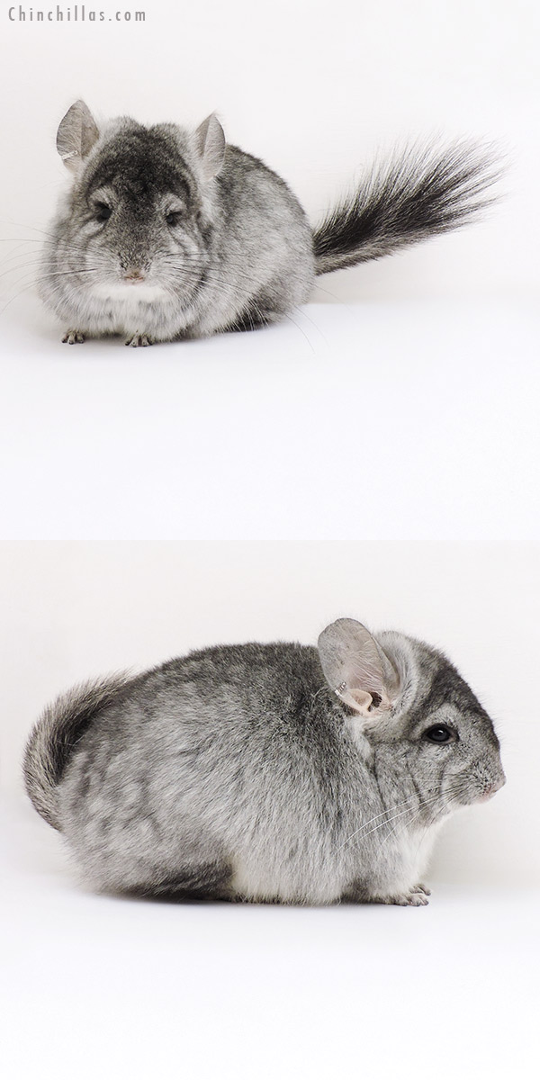 17033 Standard ( Violet Carrier ) CCCU Royal Persian Angora Female Chinchilla