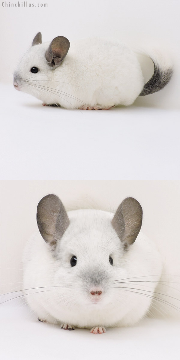 17060 Show Quality Predominantly White Female Chinchilla