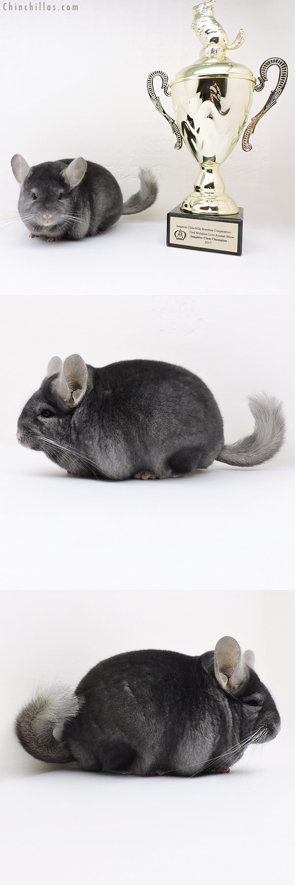 17064 National Class Champion Wrap Around Sapphire Male Chinchilla
