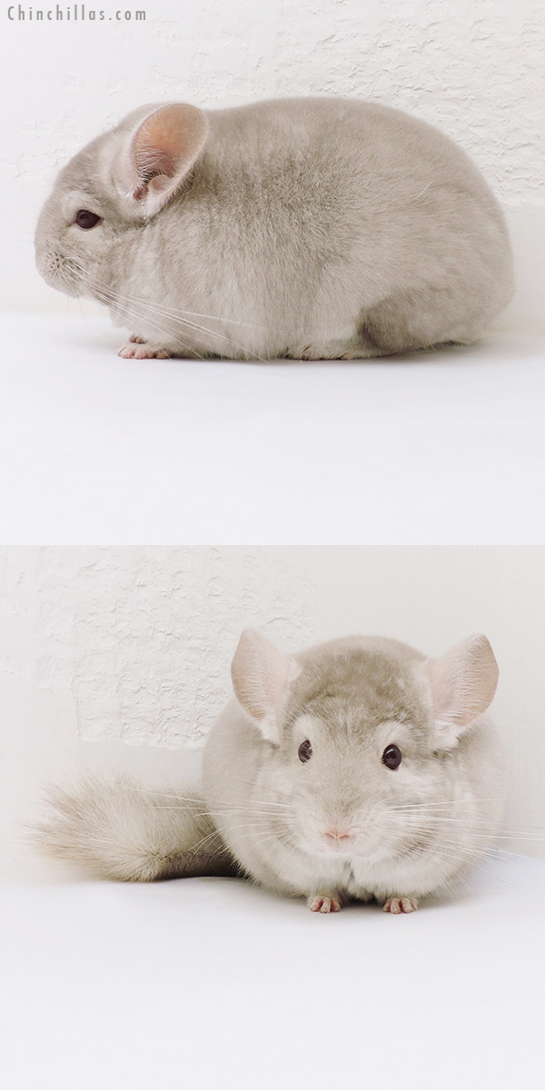 17063 Blocky Herd Improvement Quality Homo Beige Male Chinchilla