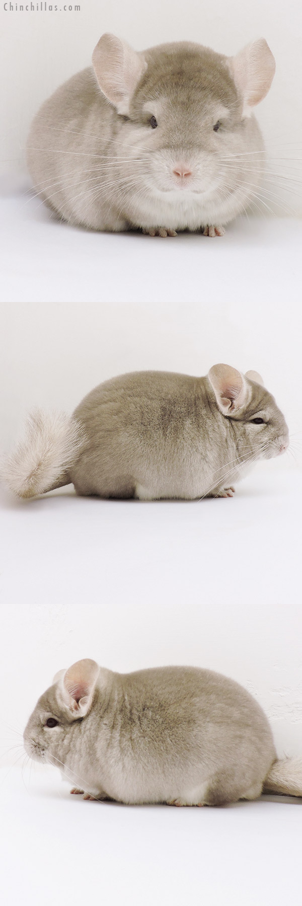 17068 Blocky Show Quality Homo Beige Male Chinchilla