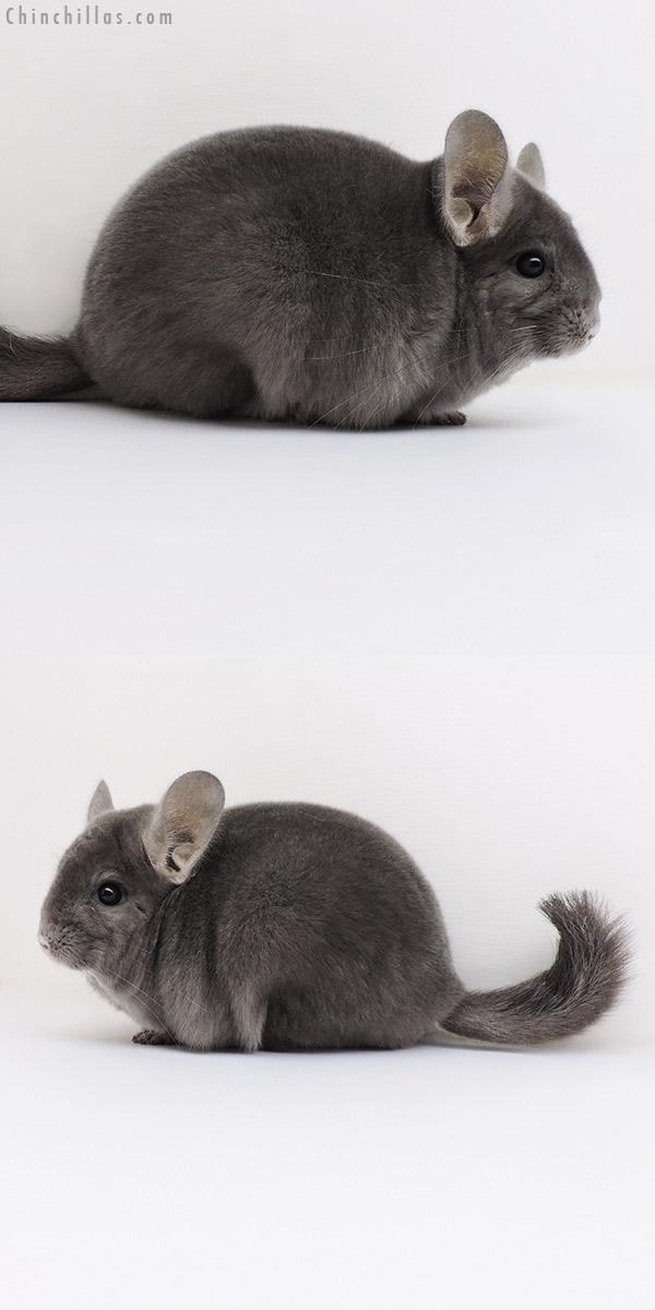 17070 Top Show Quality Wrap Around Violet Male Chinchilla